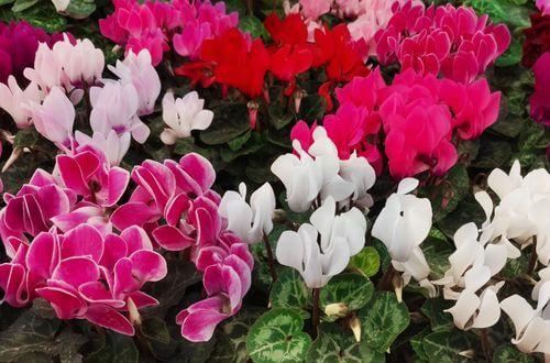 Comment éviter le traditionnel chrysanthème de la Toussaint ?
