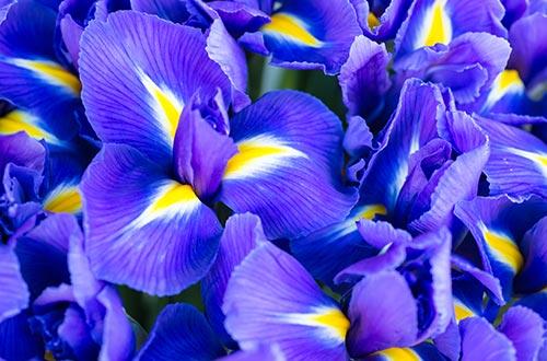 Iris fleur signification