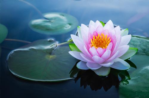 Découvrez la signification des Fleurs de Lotus - Florajet