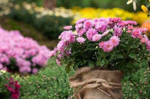 Découvrez la signification des Chrysanthèmes - Florajet