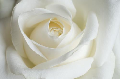 La signification de la rose blanche