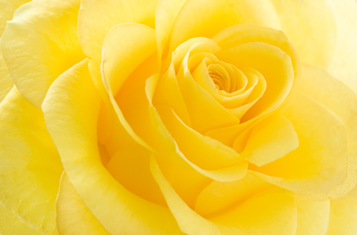 La signification de la rose jaune