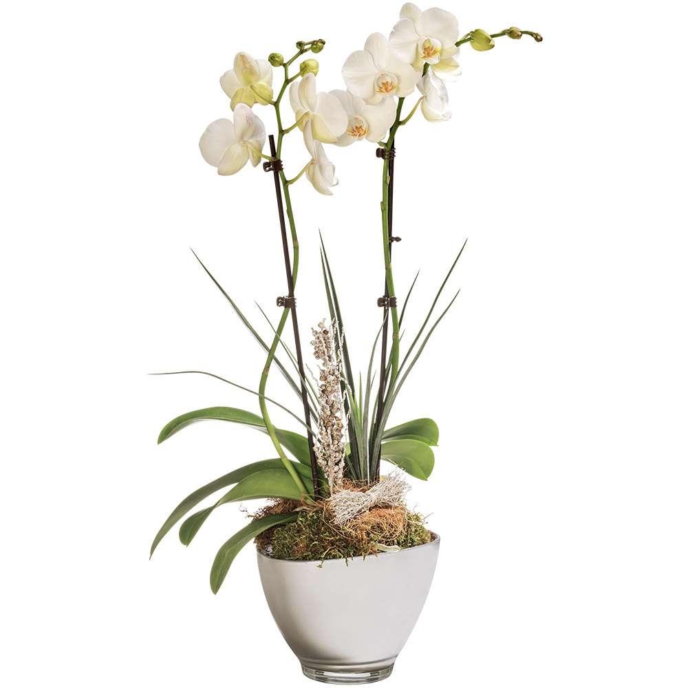 Livraison d orchid es orchid e blanche 2 branches florajet - Couper la tige d une orchidee ...