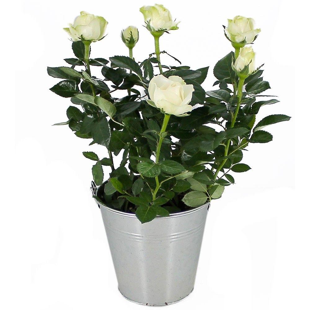 Rosier blanc rosiers livraison en express florajet - Petit rosier en pot ...