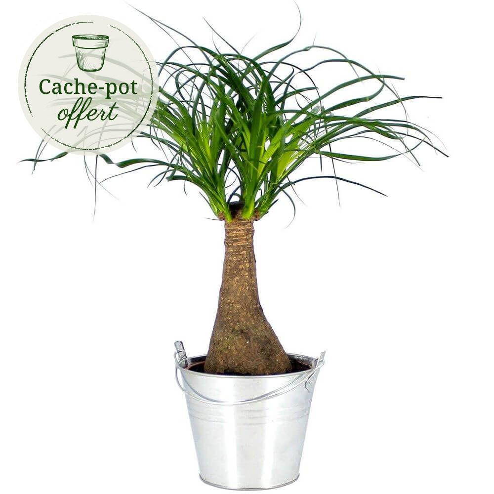 bonsa nolina plante verte livraison express florajet. Black Bedroom Furniture Sets. Home Design Ideas