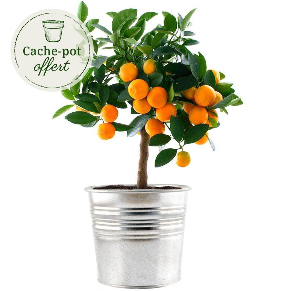 Calamondin plantes et arbustes livraison express florajet for Livraison plantes exterieur