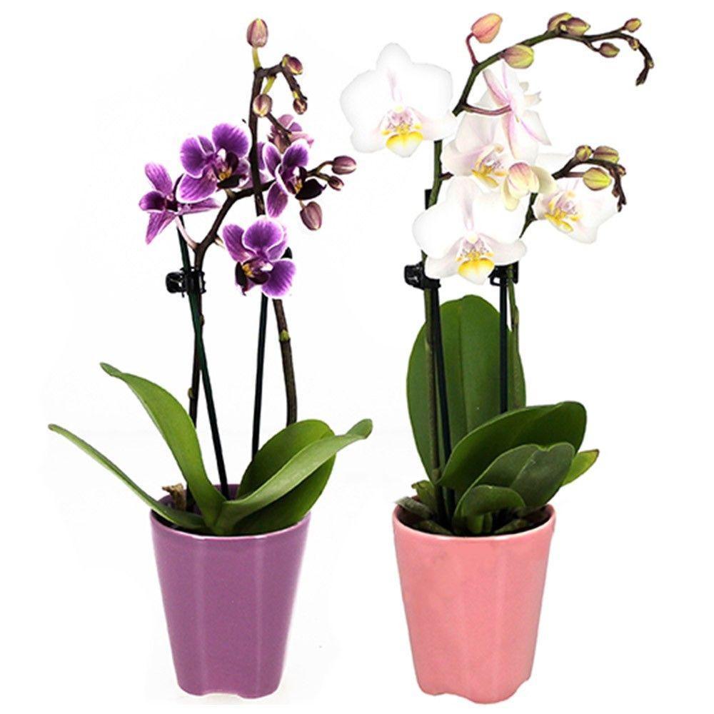 livraison express d 39 orchid es 2 mini orchid es florajet. Black Bedroom Furniture Sets. Home Design Ideas