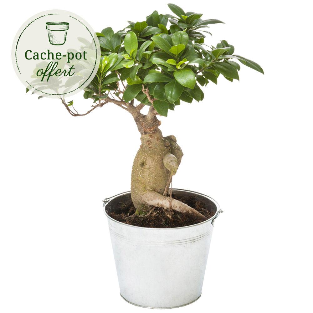 Bonsa plante verte livraison express florajet for Livraison plantes exterieur