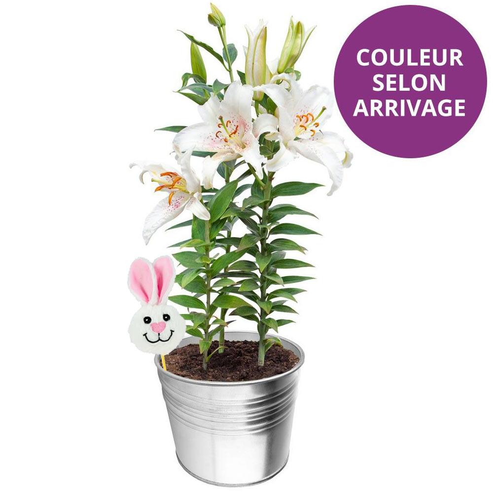 Plantes et arbustes lys en pot pic lapin livraison for Plantes et arbustes