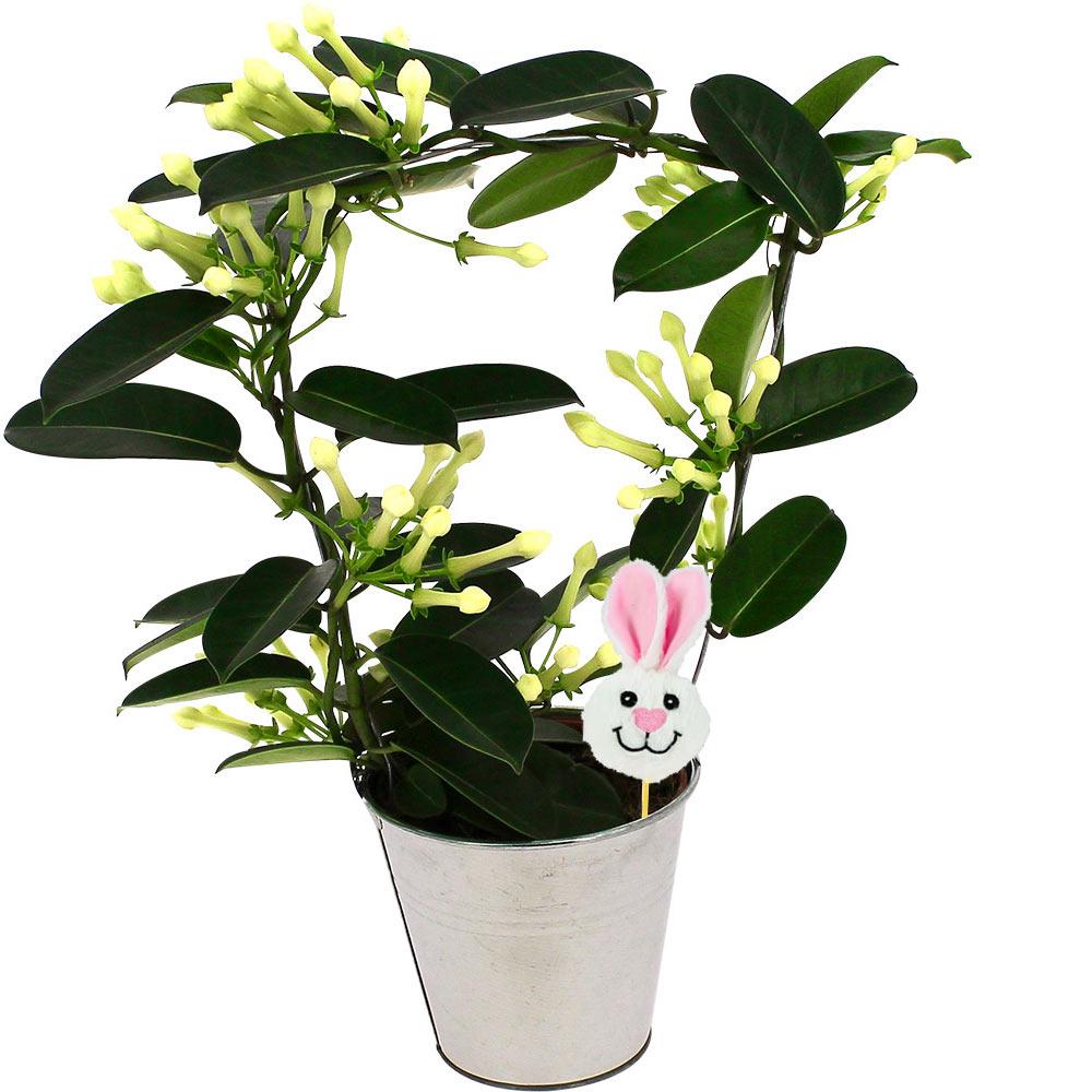 Plantes et arbustes stephanotis en pot pic lapin for Plantes et arbustes