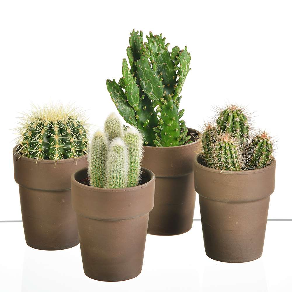 plantes et arbustes 4 cactus pots en ceramique livraison express florajet. Black Bedroom Furniture Sets. Home Design Ideas