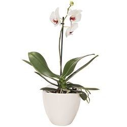 ORCHIDEE BLANCHE 1 BRANCHE