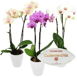 ORCHIDEE ET SES CALISSONS - 1