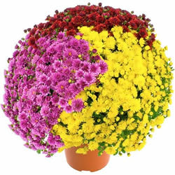 CHRYSANTHEME MULTICOLORE