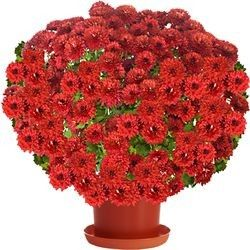 CHRYSANTHEME ROUGE