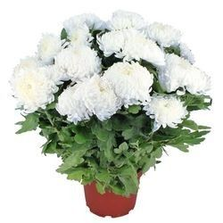 CHRYSANTHEME BLANC