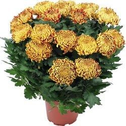 CHRYSANTHEME OR
