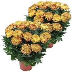 2 CHRYSANTHEMES OR