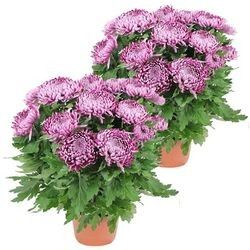 2 CHRYSANTHEMES VIOLET