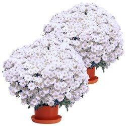2 CHRYSANTHEMES BLANCS