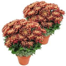 2 CHRYSANTHEMES BORDEAUX