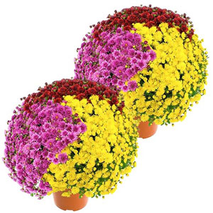 2 CHRYSANTHEMES MULTICOLORES