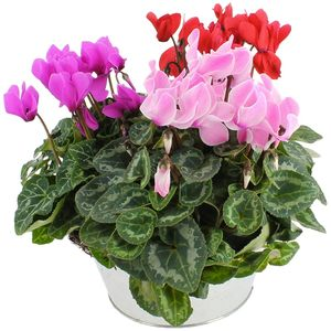 COUPE DE CYCLAMENS