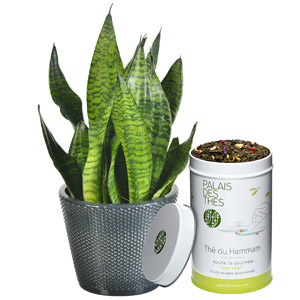 SANSEVERIA + THE DU HAMMAM