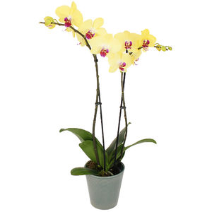 ORCHIDEE JAUNE 2 BRANCHES