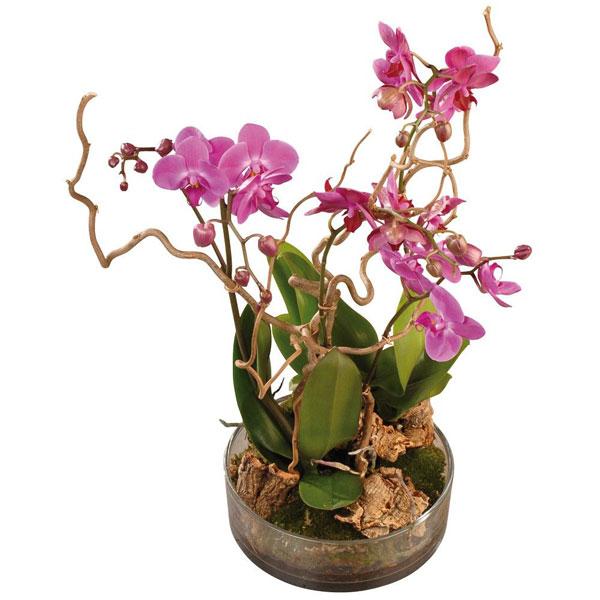 Orchidée FRIVOLE