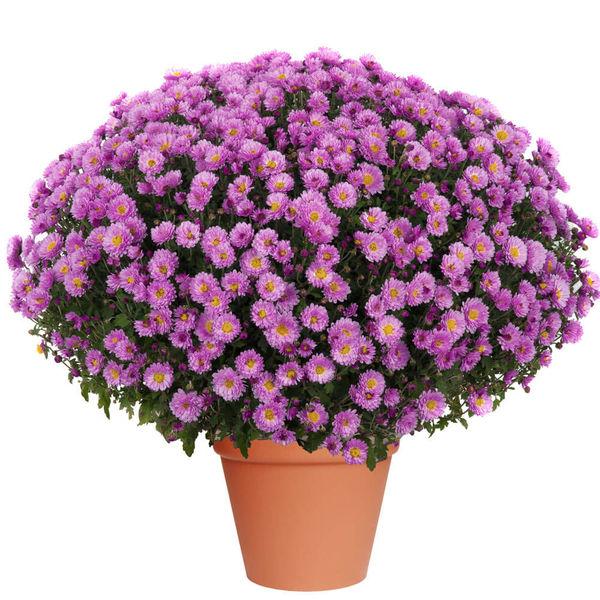 Plantes Deuil CHRYSANTHEME MAUVE
