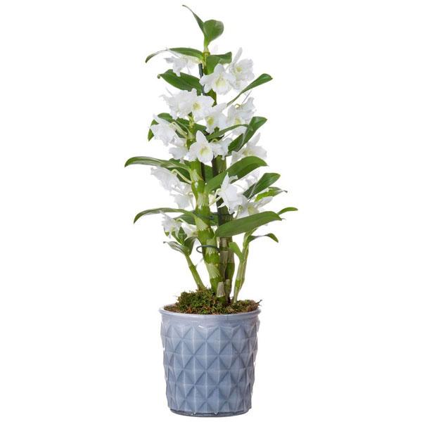 Orchidée DENDROBIUM BLANC
