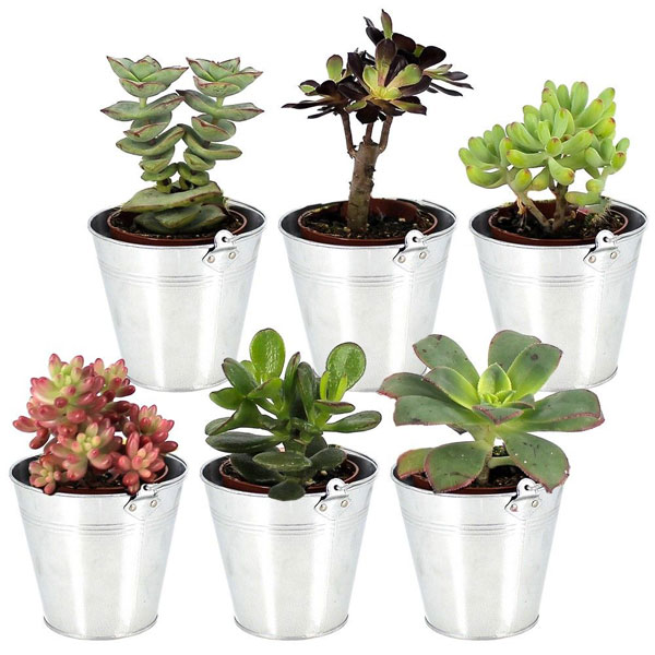 plantes et arbustes 6 mini plantes grasses livraison. Black Bedroom Furniture Sets. Home Design Ideas