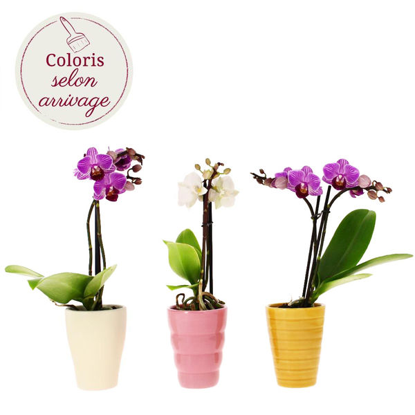 Orchidée 3 MINI ORCHIDEES + POTS
