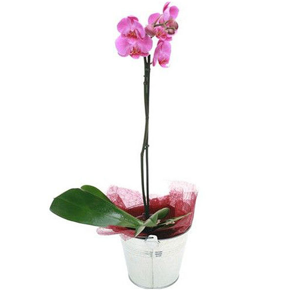 Orchidée ORCHIDEE FUCHSIA 1 BRANCHE