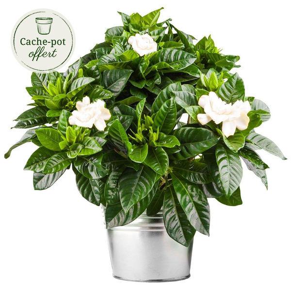 Plantes d'intérieur GARDENIA