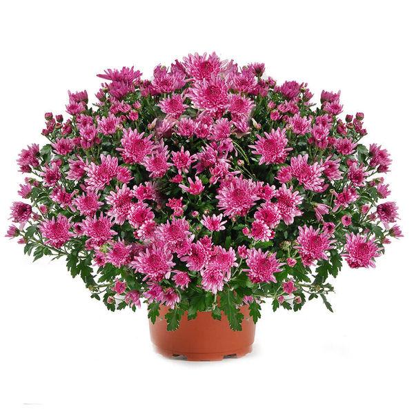 Plantes Deuil CHRYSANTHEME ROSE