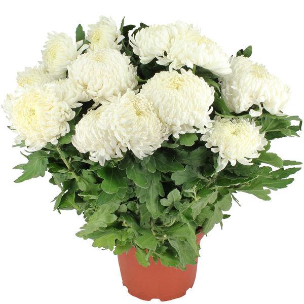Plantes Deuil CHRYSANTHEME BLANC