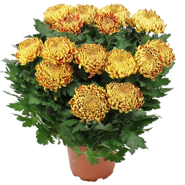 Plantes Deuil CHRYSANTHEME OR