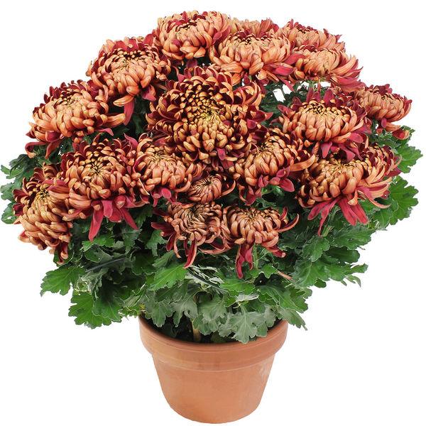 Plantes Deuil CHRYSANTHEME BORDEAUX