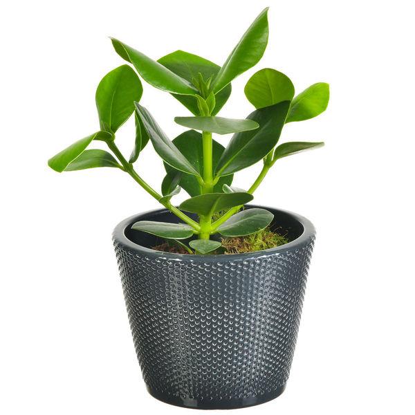 Plantes d'intérieur CLUSIA + POT EN CERAMIQUE