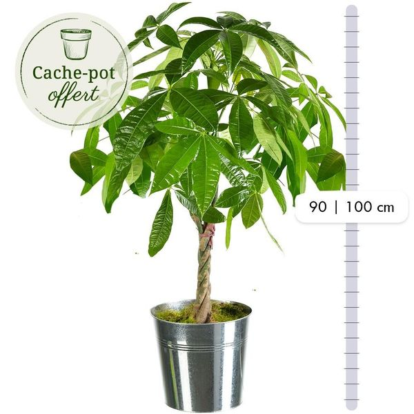 Plantes d'intérieur PACHIRA AQUATICA + POT
