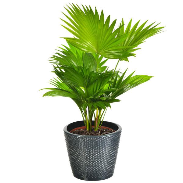 Plantes d'intérieur LIVISTONIA ROTUNDIFOLIA + POT EN CERAMIQUE