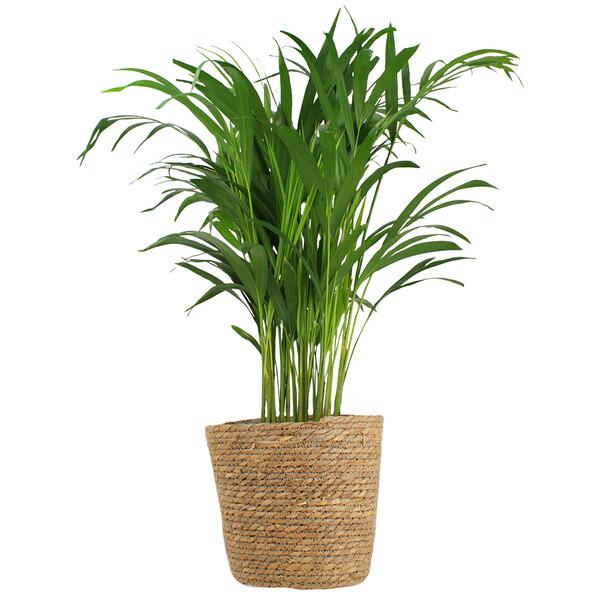 Plantes d'intérieur PALMIER + POT