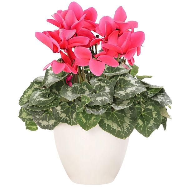 Plantes d'intérieur CYCLAMEN ROSE