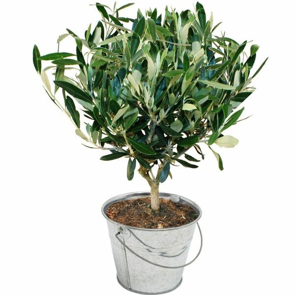 Plantes d'extérieur OLIVIER