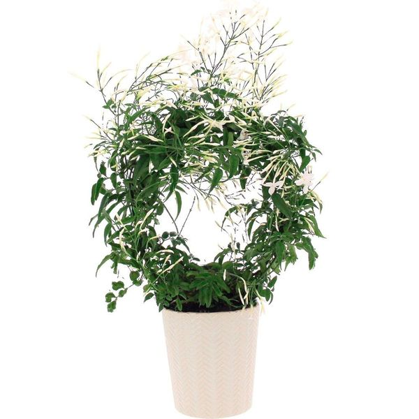 Plantes d'extérieur JASMIN BLANC + POT CERAMIQUE