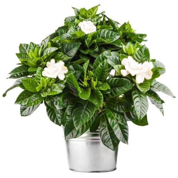 Plantes et Arbustes GARDENIA