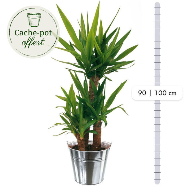 Plantes d'intérieur YUCCA + POT