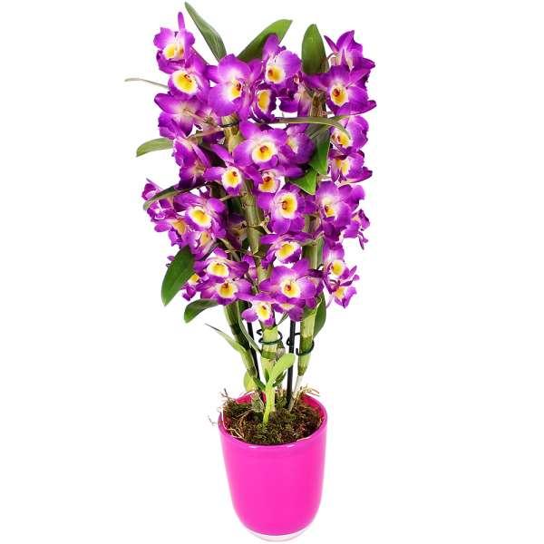 Orchidée DENDROBIUM MAUVE